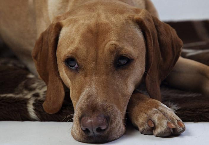 Собака со столбняком