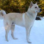 Ханаанская собака.Фото, описание породы, характер