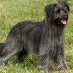 Пиренейская овчарка: фото, описание, характер