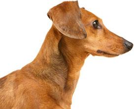Гормональный сбой у собак