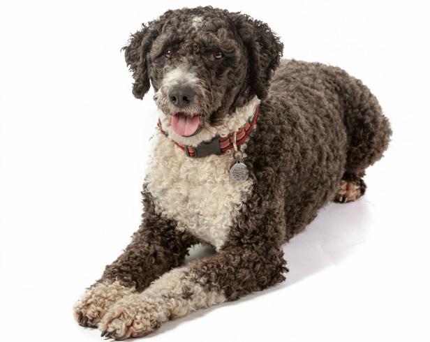 Красивая испанская водяная собака