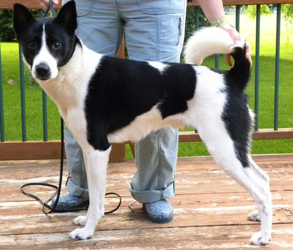 Ханаанская собака с хозяином