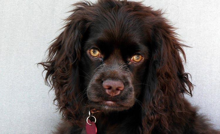 Собака с желтыми глазами