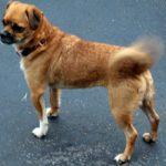 Почему собаки виляют хвостом и что это значит?