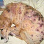 Экзема у собак: симптомы и лечение (с фото)