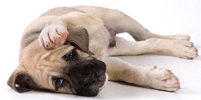 Гепатит у собаки