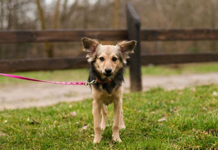 Собака с гормональным нарушением