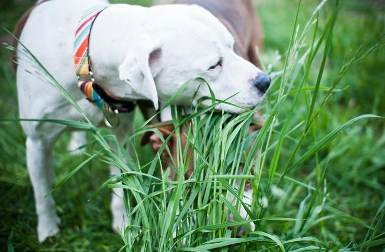 Собака кушает травку