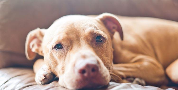 Собака с бронхитом лежит