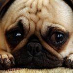 Болезнь лайма у собак: симптомы и лечение