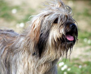 Пиренейская овчарка - мордочка