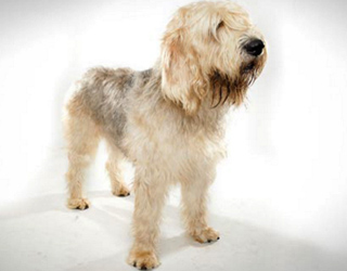 Оттерхаунд - щенок