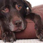 Ревматизм у собаки: причины, симптомы и лечение