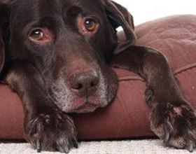 Ревматизм у собаки