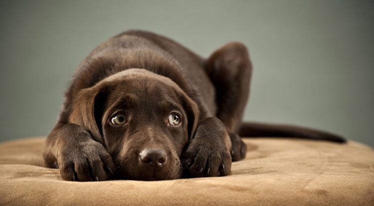 Собака с токсоплазмозом