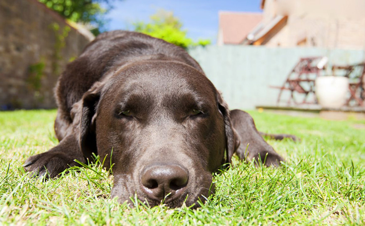 Собака лежит с тепловым ударом