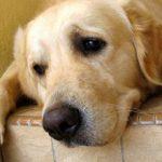 Язва желудка у собаки: симптомы лечение