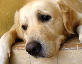 Язва желудка у собаки