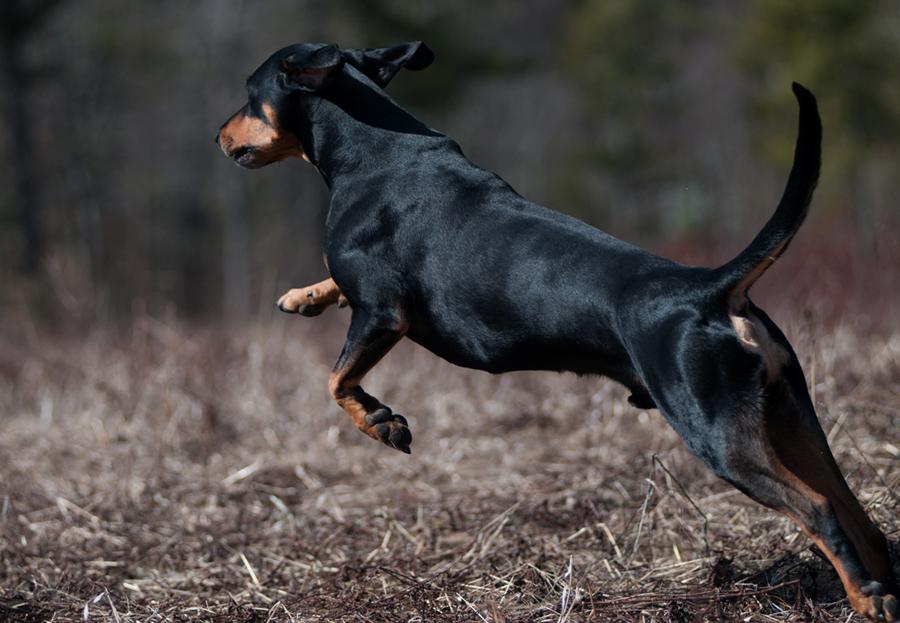 одноэтажных щенок австрийской охотничьей фото сотен фотографов