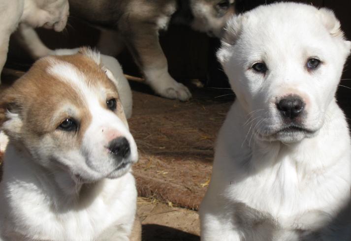 Два щенка алабая