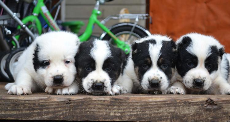 4 щенка алабая