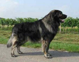 Югославская овчарка