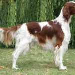 Ирландский красно-белый сеттер: описание породы, характер, фото