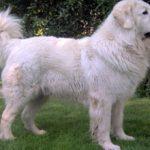 Польская подгалянская овчарка(Альбус): описание и фото породы