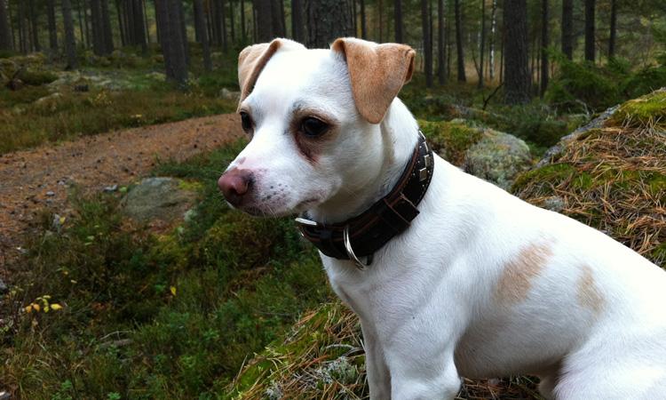 Датско-шведская фермерская собака сидит