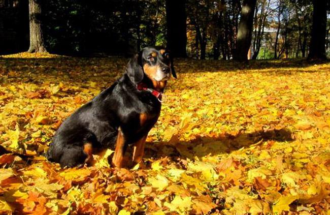 Латвийская гончая осенью