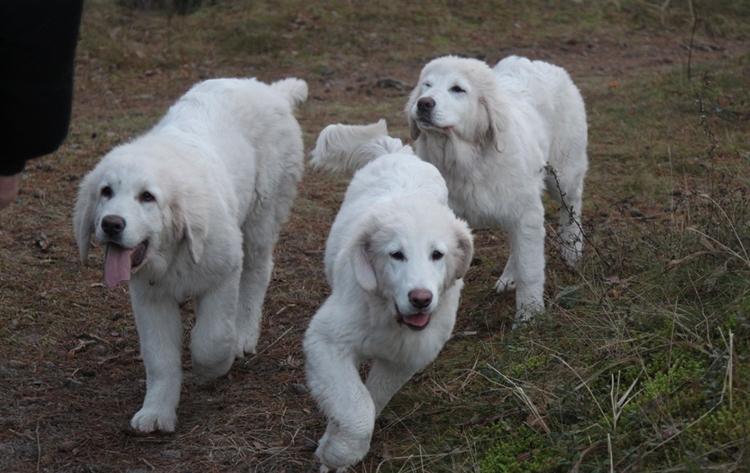 Три подгалянские овчарки