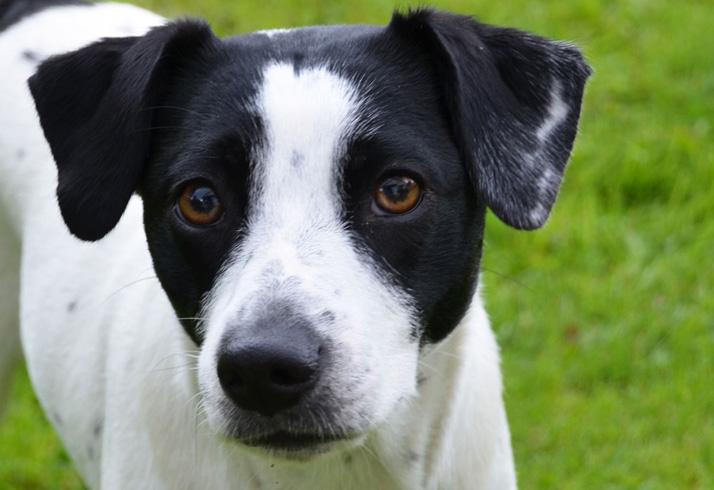 Датско-шведская фермерская собака - взгляд