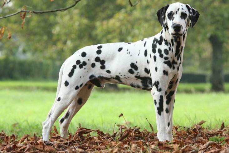 Изящный пес