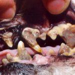 У собаки гниют зубы: причины и что делать