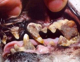 У собаки гниют зубы