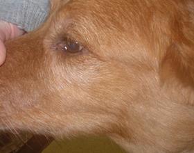 Лимфаденит у собак