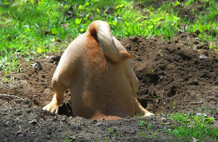 Собака роет