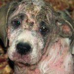 Саркоптоз у собак: причины, симптомы и лечение (с фото)