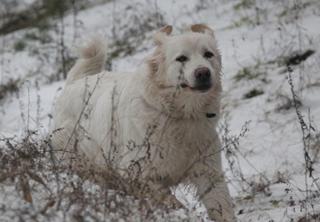 Подгалянская овчарка зимой