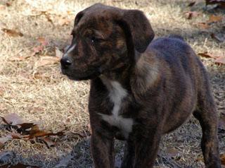Щенок Древесная теннессийской тигровой собаки