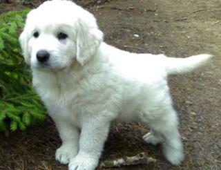 Подгалянская овчарка - щенок