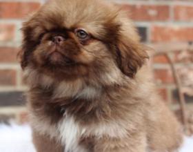 Как правильно выбрать щенка Пекинеса и как за ним ухаживать?
