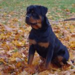 Как правильно воспитывать щенка ротвейлера