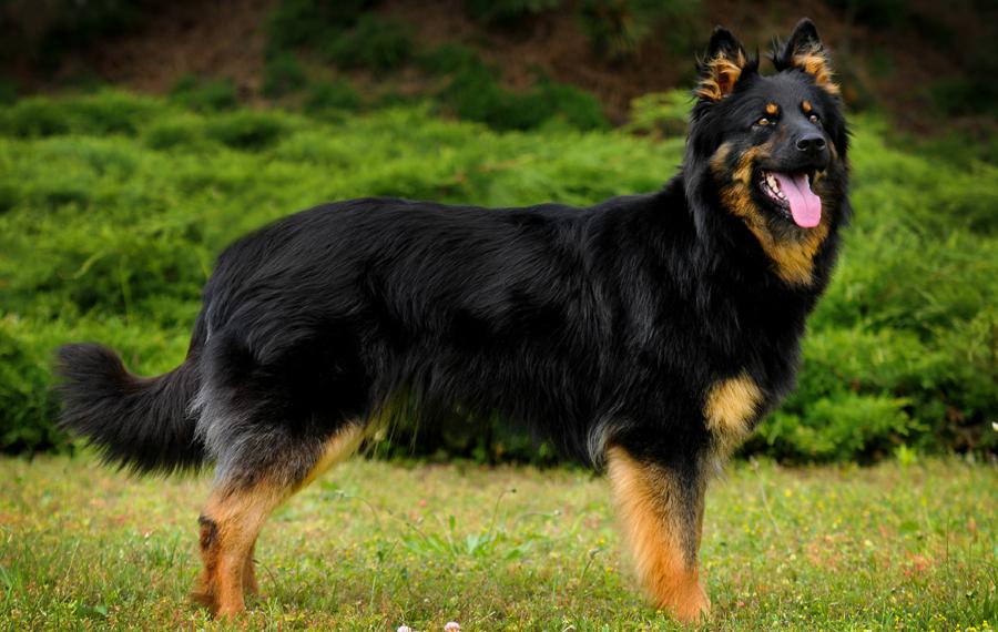 овчарки собаки фото и названия пород еще знакомы