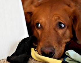 Что делать если собака съела носки