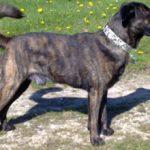 Азорская пастушья собака: описание породы, характер, фото
