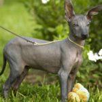 Голая собака инков: описание породы, характеристика, фото