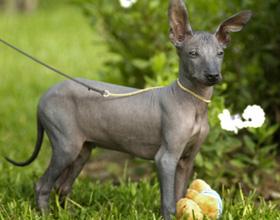 Голая собака инков