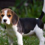 Как нужно правильно воспитывать щенка бигля