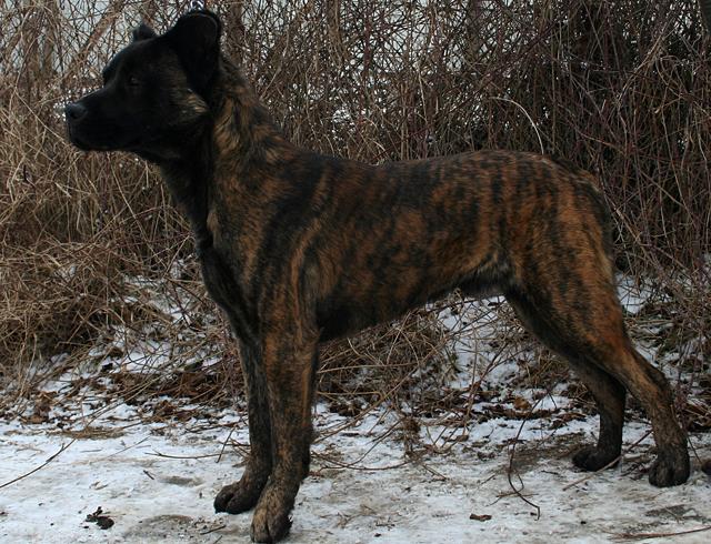 Азорская пастушья собака на снегу